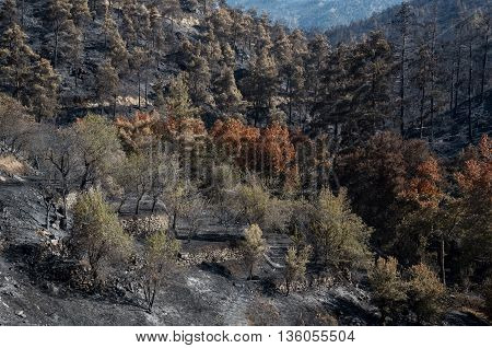 Forest and trees after a big forest fire at Troodos mountains in Cyprus which created a big environmental damage.
