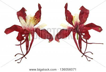 dry large red and white perspective delicate royal Aquilegia with pressed petals isolated on scrapbook background blossom of Columbine flower