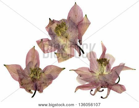 dry large pink perspective delicate royal Aquilegia with pressed petals isolated on scrapbook background blossom of Columbine flower