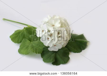 white geranium perspective fresh delicate flowers and petals of pelargonium isolated on scrapbook background