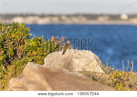 Northern Flicker considers surroundings while perched on rock