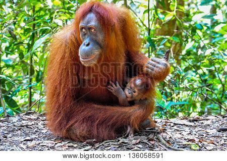 Portrait of a Mother Sumatran Orangutan with her baby in Bukit Lawang Rainforest of Indonesia
