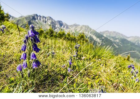 Campanula Alpina With Mountains In The Background.
