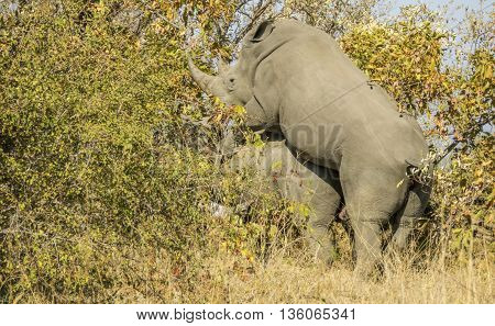 ild white rhinoceros mating in the bush, in Kruger Park