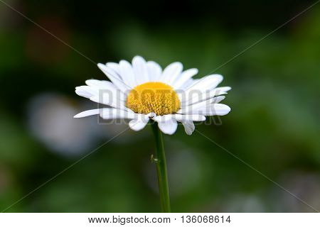 big blooming bright white daisy close up