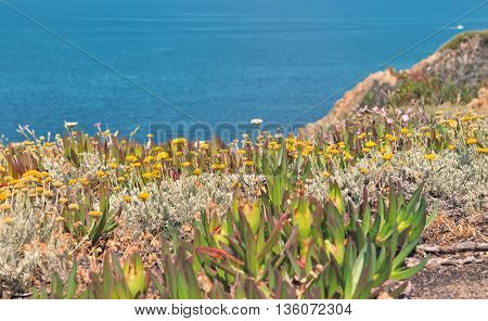 succulent plants with yellow flowers on rocky Corsica coast