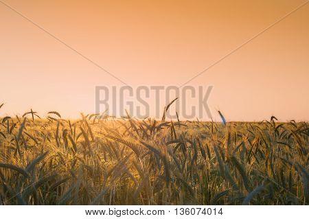 Golden sunset over wheat field. Rich, golden harvest.