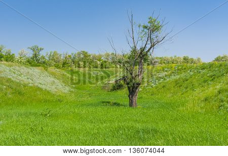 Spring landscape with an old lonely pussy-willow tree in lowland