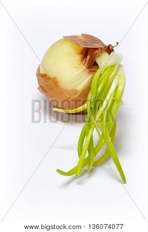 Onion with green shoots at the end of storage life beginning to sprout.