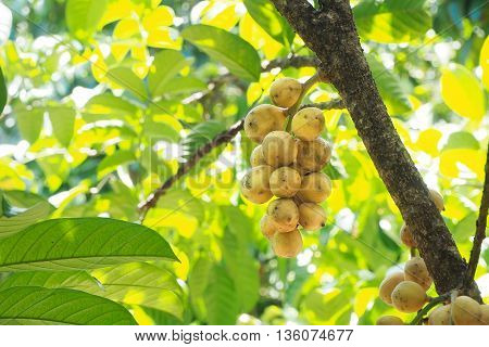 Wollongong fruit hanging on tree at garden In Thailand.