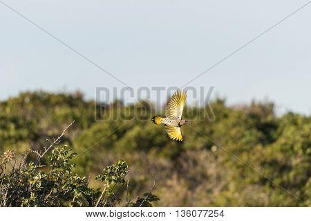 Northern Flicker banking in flight showing underside of spread wings