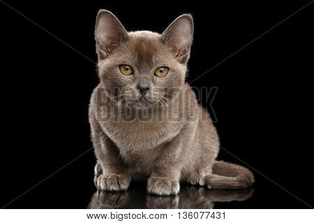 Cute Little Burma Kitten Sitting and Looking in Camera on Isolated Black Background, Front view