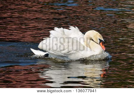 The lake peacefully floating white Swan on the calm water.