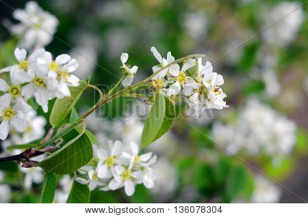 branch of bird cherry blossoms in May,Prunus padus