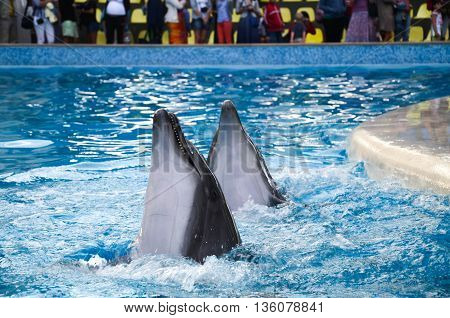 a pair of bottlenose dolphins perform in the pool