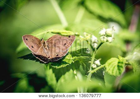 Tan little wood satyr butterfly (Megisto cymela) perched on green plant