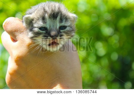 Striped grey newborn kitten in human hand