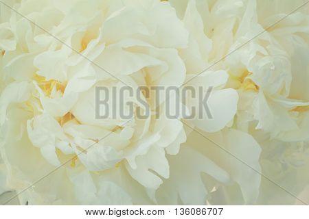 Bouquet of fresh white peony flowers macro background, retro toned