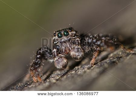 Fencepost jumping spider - Marpissa muscosa - close-up (male).