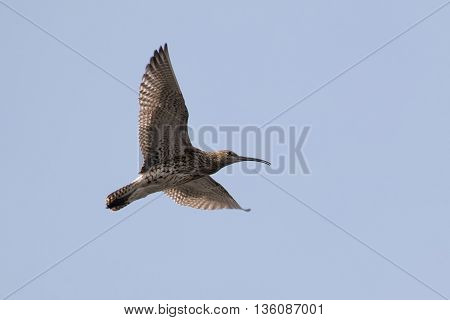 Eurasian curlew (Numenius arquata) calling and displaying in flight.