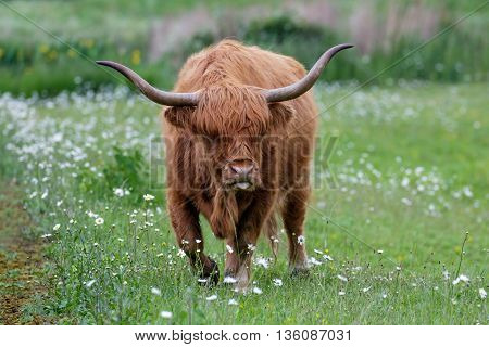 Highland Cattle bull grazing out on a daisy-filled meadow.