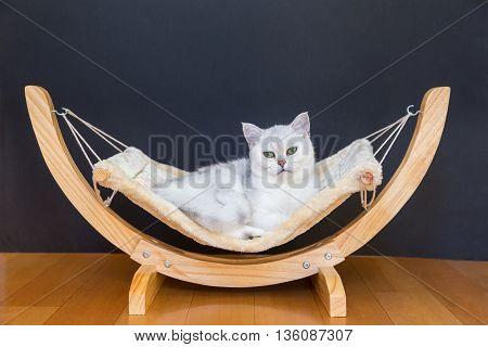 British short hair Silver shaded cat lying lazy in hammock