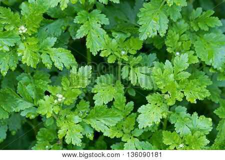 Feverfew plants with wet green leaves and flower buds after the rain in Austria, Europe