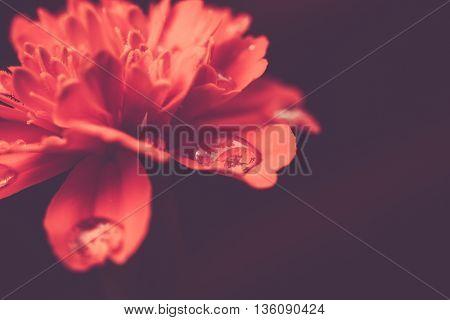 Orange Marigold Macro