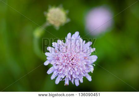 Close up of round spiky purple flowers on purple plant stem