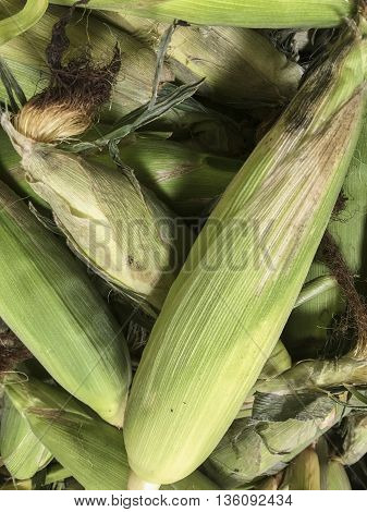 Fresh corn ready to be sold at market.