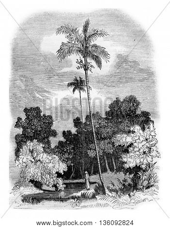 Areca palm, Areca catechu, vintage engraved illustration. Magasin Pittoresque 1836.