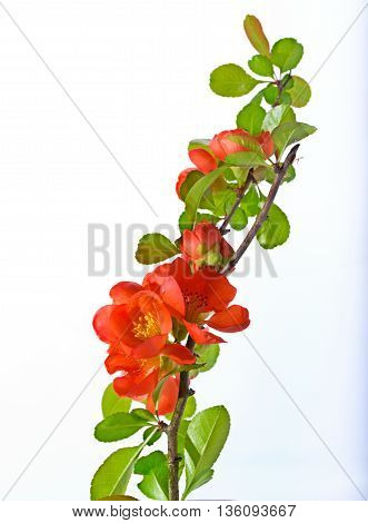 Branch of the Japanese quince with red flowers. It is isolated on white a close up small depth of sharpness