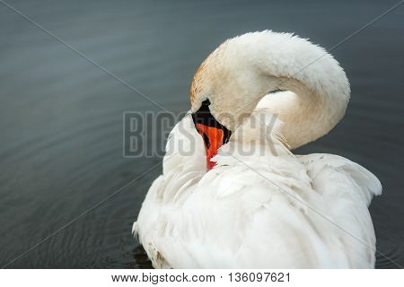 White Swan On The River