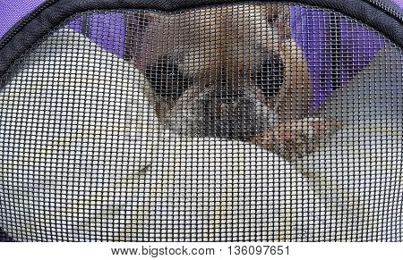 French bulldog behind screen window in purple pet carrier.