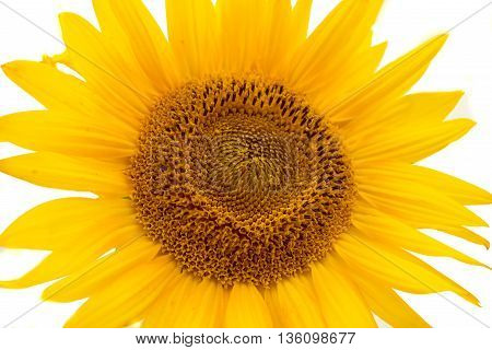 yellow symbol sunflowers on a white background
