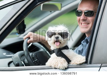 Small dog maltese in a car with open window and his owner in a background. Dog wears a special dog car harness to keep him safe when he travels.