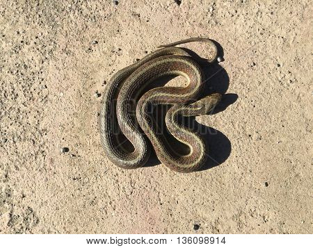 California Red Sided Garter Snake Coiled Shadow