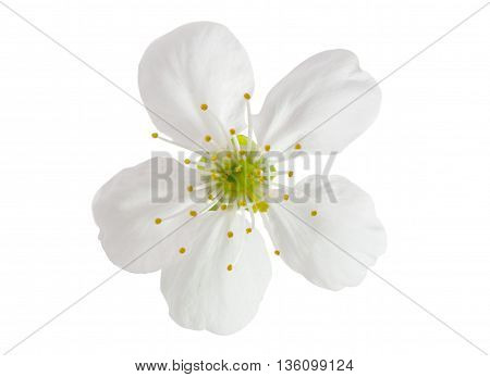spring cherry flowers on a white background