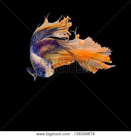 Siamese fighting fish colorful are reversed from Thailand.