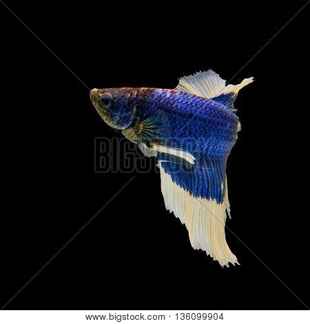Siamese fighting fish blue are reversed from Thailand.