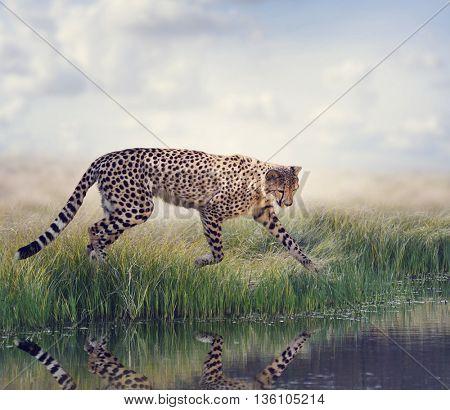 Cheetah Running to the pond