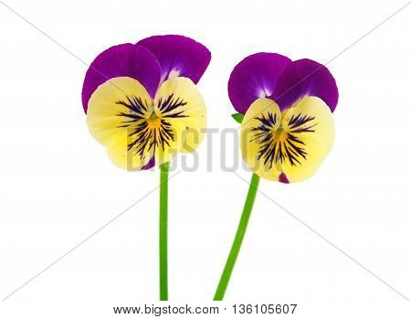 violet, pansy flower isolated on white background