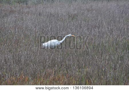 White Egret stalking prey in wetlands in Texas