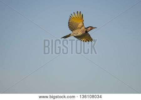 Yellow-shafted Northern Flicker spreads its broad wings