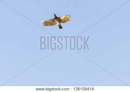 Northern Flicker from below wings spread backlit