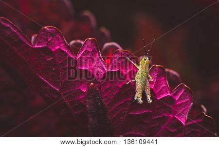 green praying mantis on a purple leaf