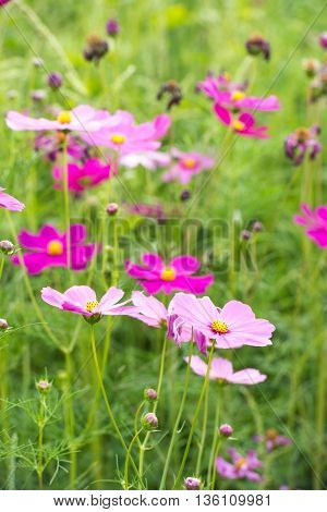 The Beautiful cosmos flower in the garden