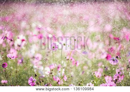 Beautiful cosmos flower with rain violet filter