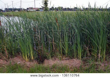 SHOREWOOD, ILLINOIS / UNITED STATES - AUGUST 30, 2015: Common cattails (Typha latifolia) grow in a swamp near a major intersection in Shorewood.