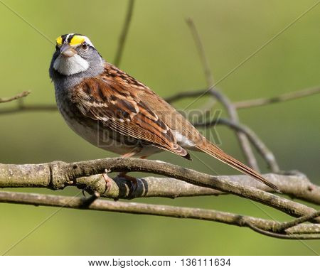 White-throated Sparrow (Zonotrichia albicollis) perched on a branch